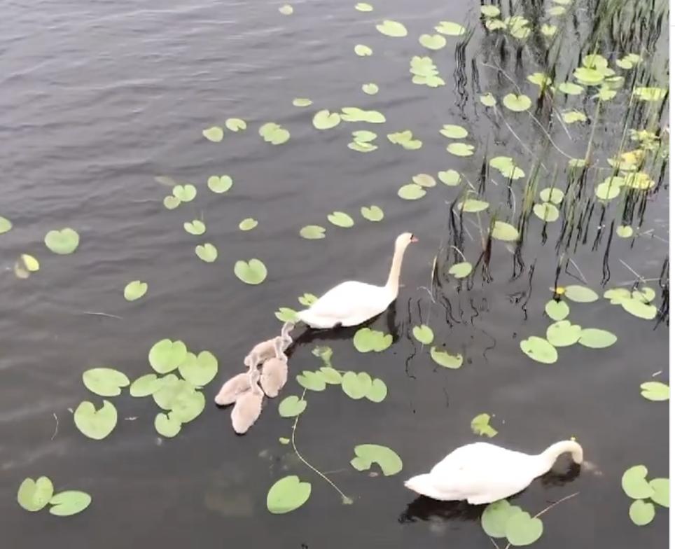 У Костополі лебеді вчать пташенят добувати їжу (ВІДЕО)